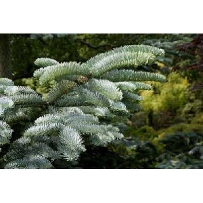 Abies procera [syn. nobilis] (sapin noble) - 25 graines.Idéal pour les arbres de Noël