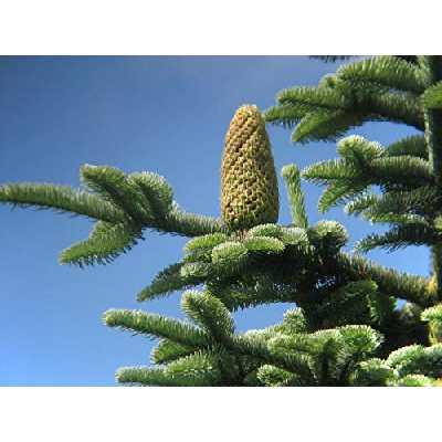 AGROBITS Noble Sapin - Abies Nobilis (Procera) - 25- Christmas Tree - Conifer