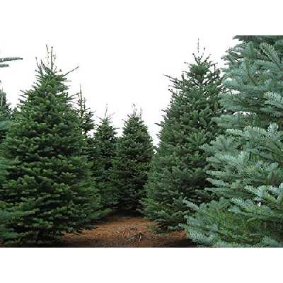 VISA STORE Sapin noble, Abies procera, (Abies nobilis), 30 graines Graines (odorant Evergreen)