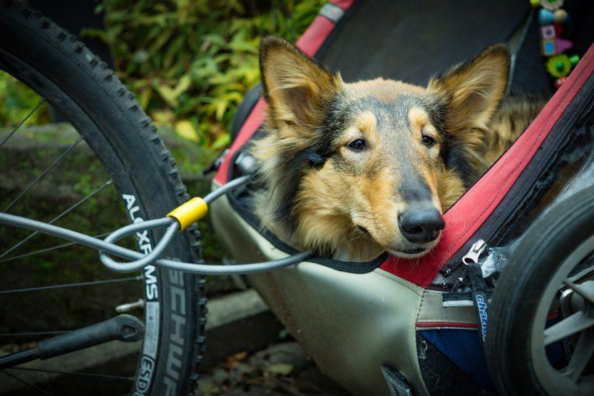 Remorque velo chien